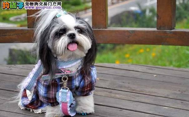 如何给西施犬做美容让西施犬更漂亮