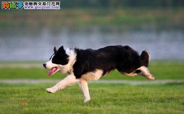 怎样训练边境牧羊犬让它更优秀