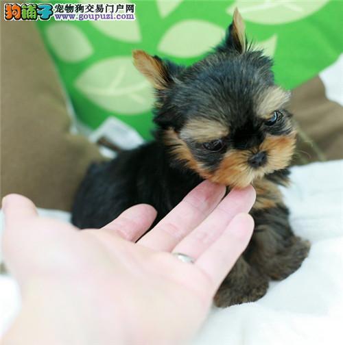 实体养殖基地常年出售精品约克夏犬