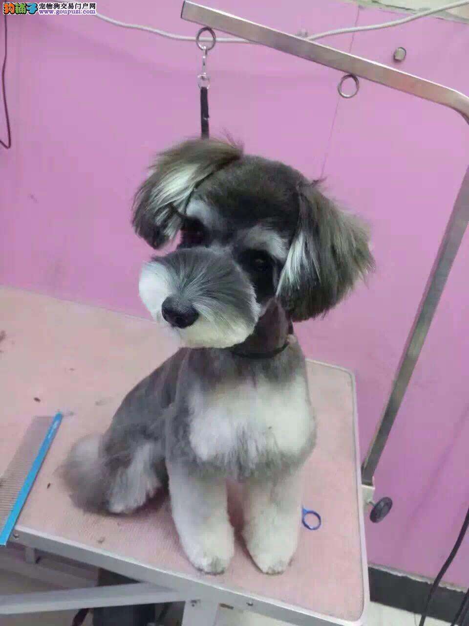 实体养殖基地出售雪纳瑞幼犬
