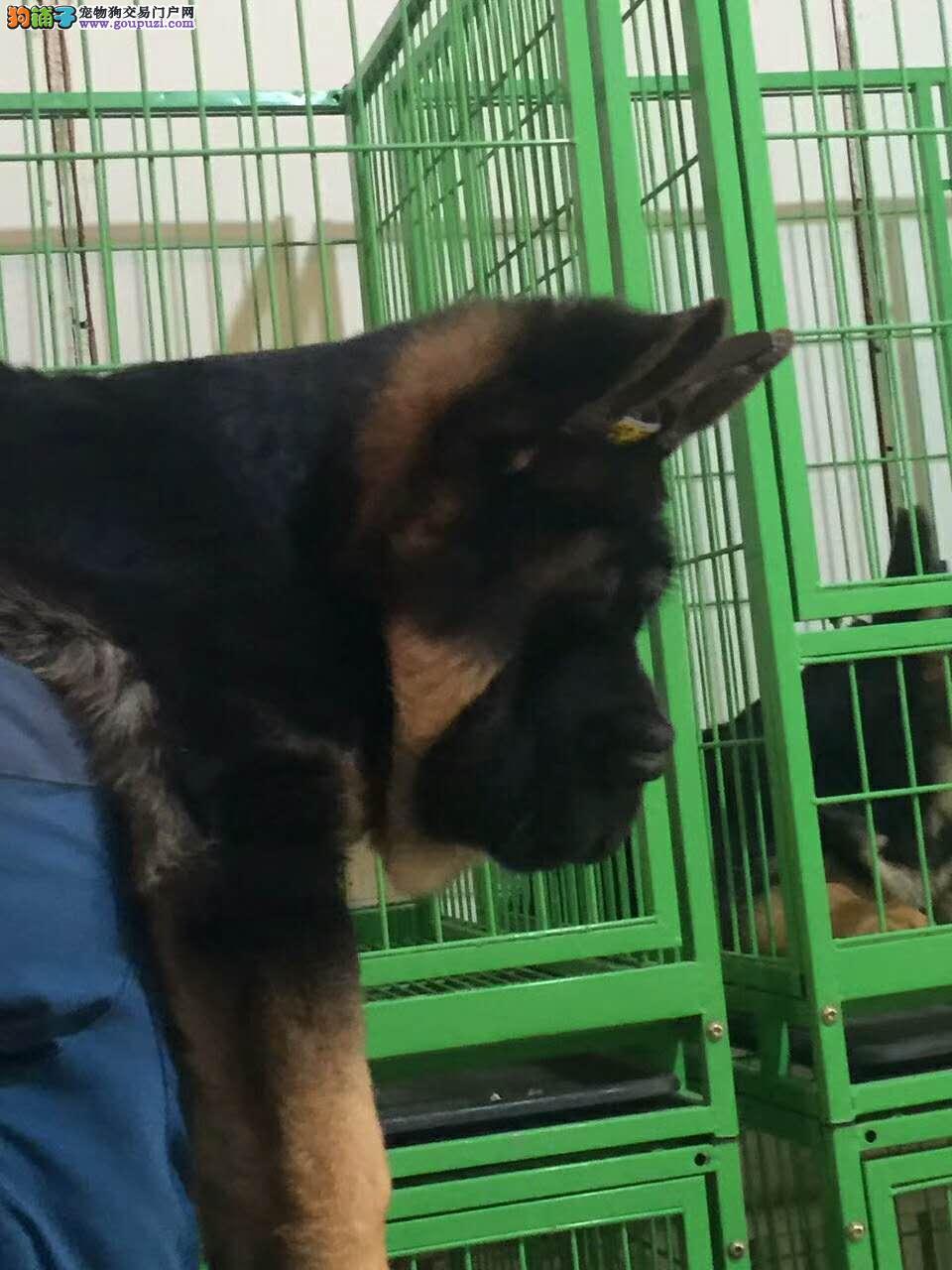 实体养殖基地常年出售大头锤系德牧幼犬