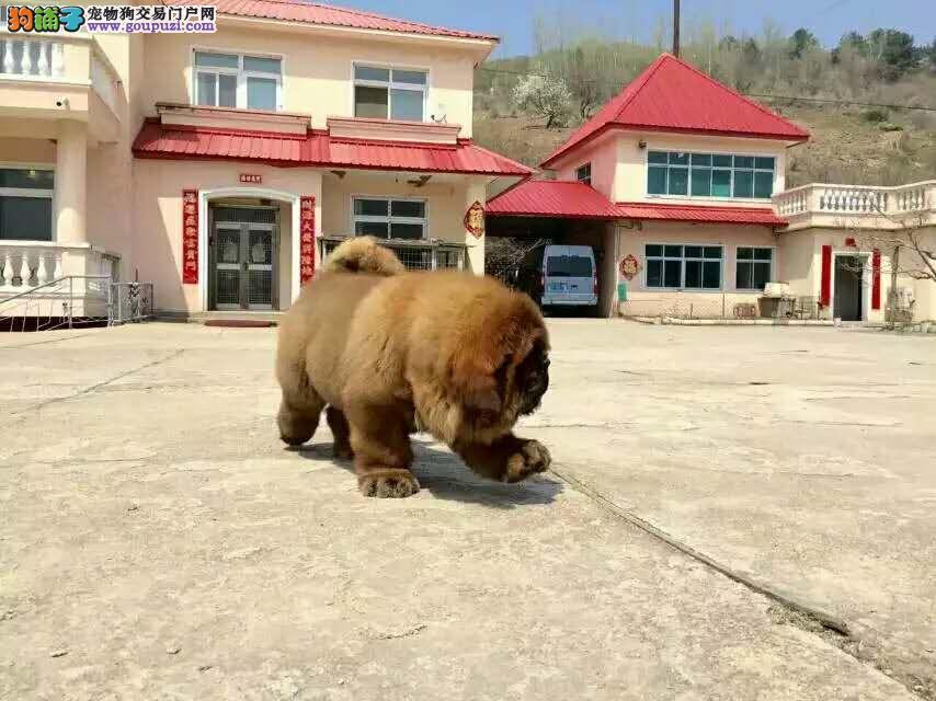 实体养殖基地常年出售精品藏獒幼犬