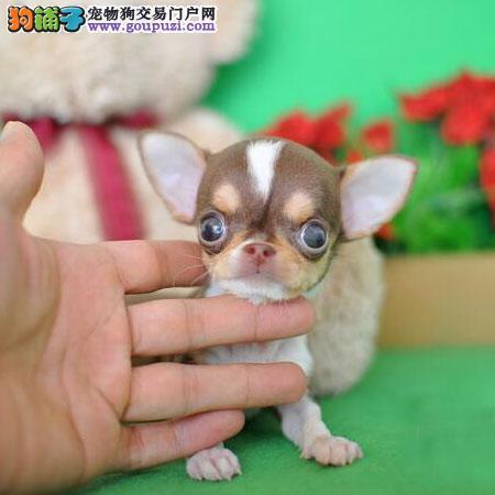 精品吉娃娃幼犬 犬舍常年出娃娃犬