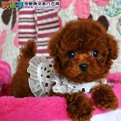 实体狗场出售精品泰迪熊 泰迪幼犬