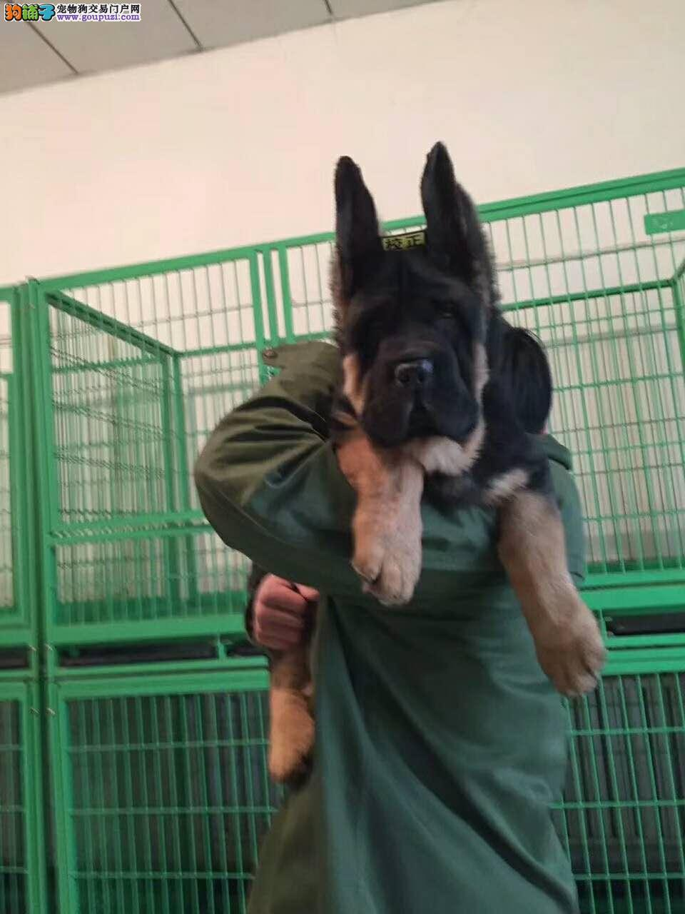 德国牧羊犬出售 大头锤系德牧