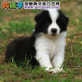 出售边境幼犬 狗场繁殖纯种边境犬