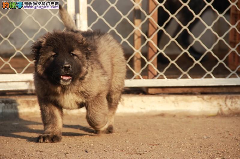 熊版大骨架纯种高加索犬,正规繁殖基地,带血统签协议