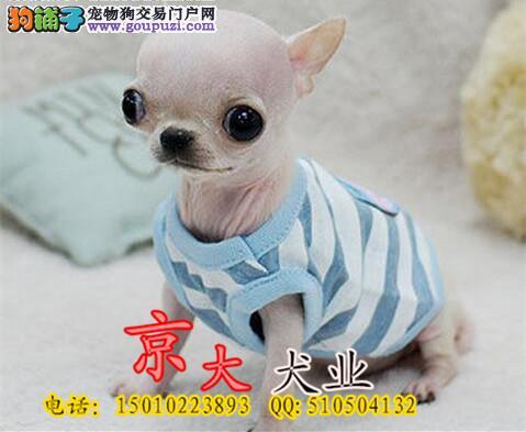 北京吉娃娃出售 小体吉娃娃 体型完美 品质极佳