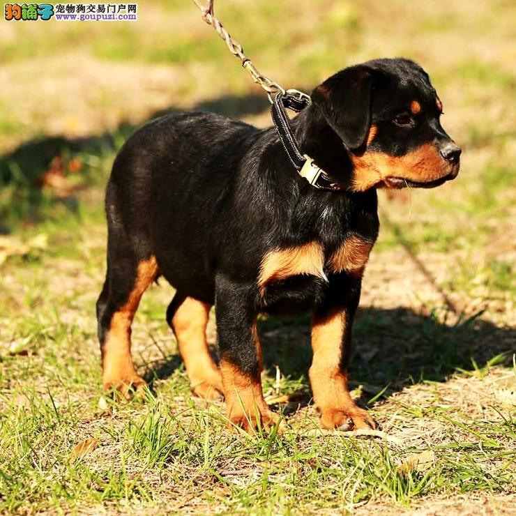 北京罗威纳 罗威纳犬,德系幼犬,美系幼犬