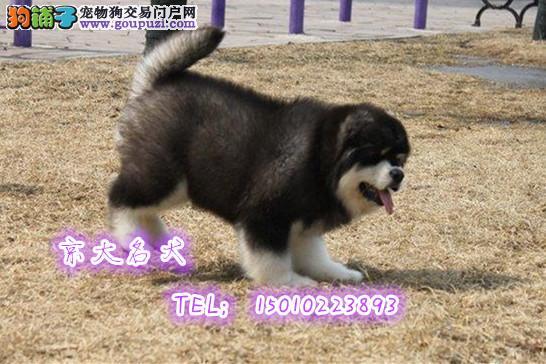 赛级阿拉斯加 纯种阿拉斯加 阿拉斯加雪橇犬
