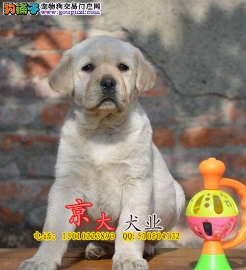 北京拉布拉多幼犬 出售纯种拉布拉多幼犬 签协议保品质