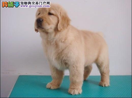 北京金毛幼犬 纯种金毛幼犬 可办理血统证书及芯片