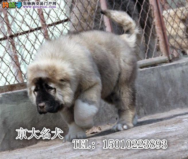 纯种高加索幼犬出售 巨型高加索 CKU认证血统 健康