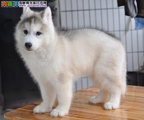 北京哈士奇幼犬 哈士奇幼犬出售 可协议保健康