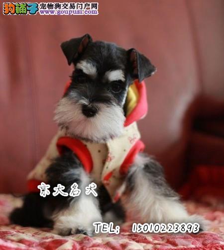 纯种雪纳瑞幼犬 质量三包 品质优越