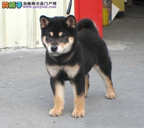 纯种柴犬幼犬价格北京柴犬什么价格 公母均有