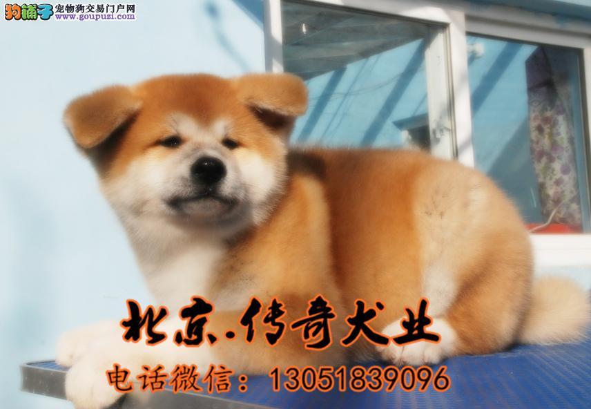 纯种秋田 赛系秋田图片 北京秋田幼犬价格