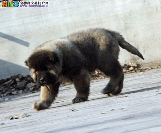 纯种高加索幼犬 纯种高加索好养吗 亿丰犬舍出售