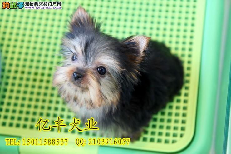 纯种约克夏幼犬出售 纯种约克夏好养吗 亿丰犬舍