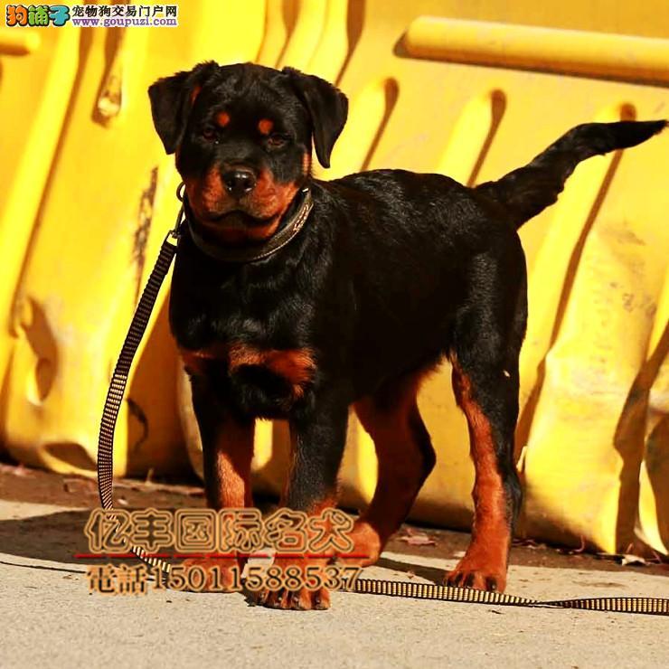 纯种罗威纳幼犬出售 纯种罗威纳好养吗 亿丰犬舍