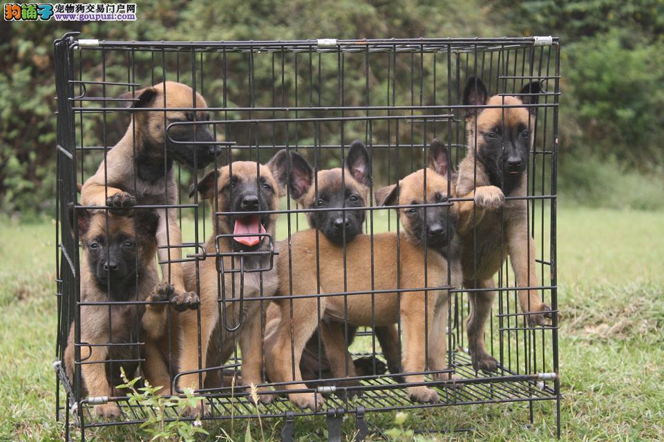 百分百纯种健康的马犬出售