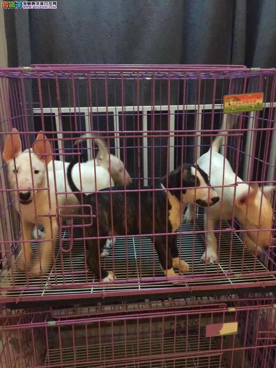 犬舍出售纯种健康的牛头梗幼犬