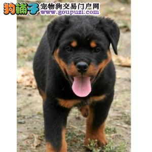 正规犬舍繁殖 赛级品质罗威纳 北京罗威纳多少钱一只