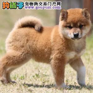 高品质柴犬幼犬质保出售 疫苗齐全 北京柴犬多少钱一只