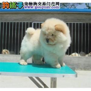 松狮犬缩略图