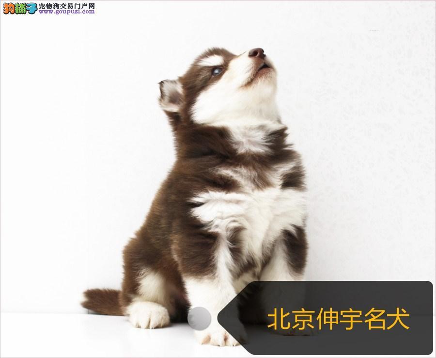 阿拉斯加犬 巨型熊版雪阿拉斯加幼犬 活体