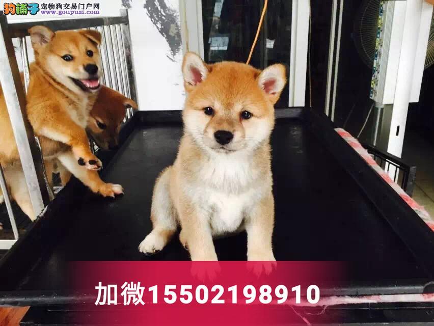 中型犬赛级血统幼崽出售纯种忠诚日本柴犬3