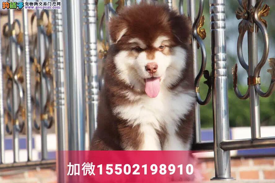 3纯种桃脸十子脸阿拉斯加幼犬巨型3