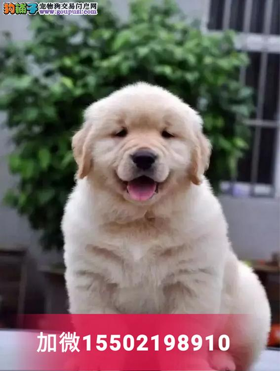 出售金毛犬纯种巡回猎犬导盲犬黄金宠物狗狗3