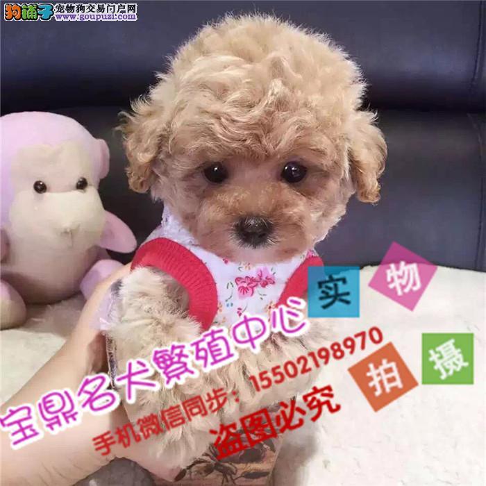 正规犬舍出售 纯种精品贵宾犬