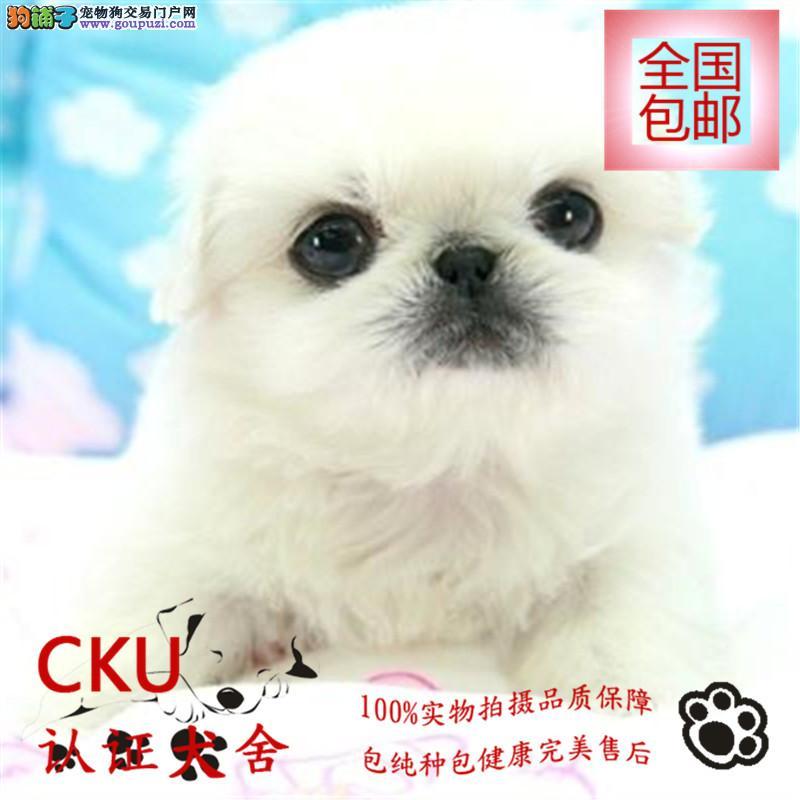 河南大型犬舍出售京巴犬 包养活 欢迎上门挑选