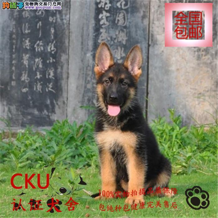 河南大型犬舍出售纯种狼狗 保证品质和健康 包养活