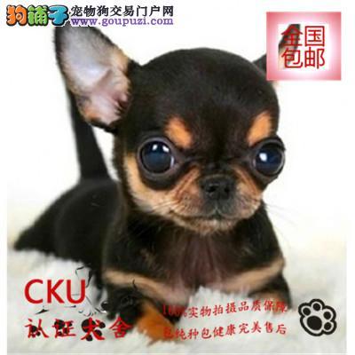 河南本地大型犬舍出售吉娃娃犬 多色可选 可货到付款