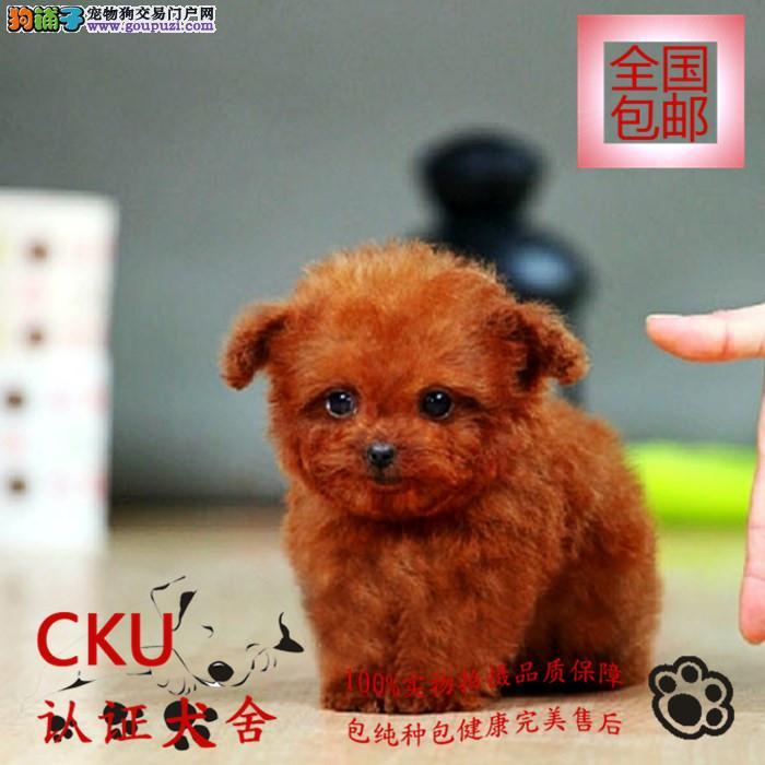 超萌泰迪犬出售 多色可选签保障协议 包养活送用品