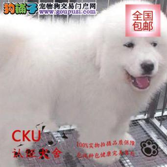 纯种雪白大白熊出售 品质纯正 签订协议终身质保