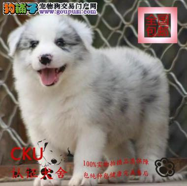 CKU认证犬舍出售边境牧羊犬 终身包售后 买狗送用品