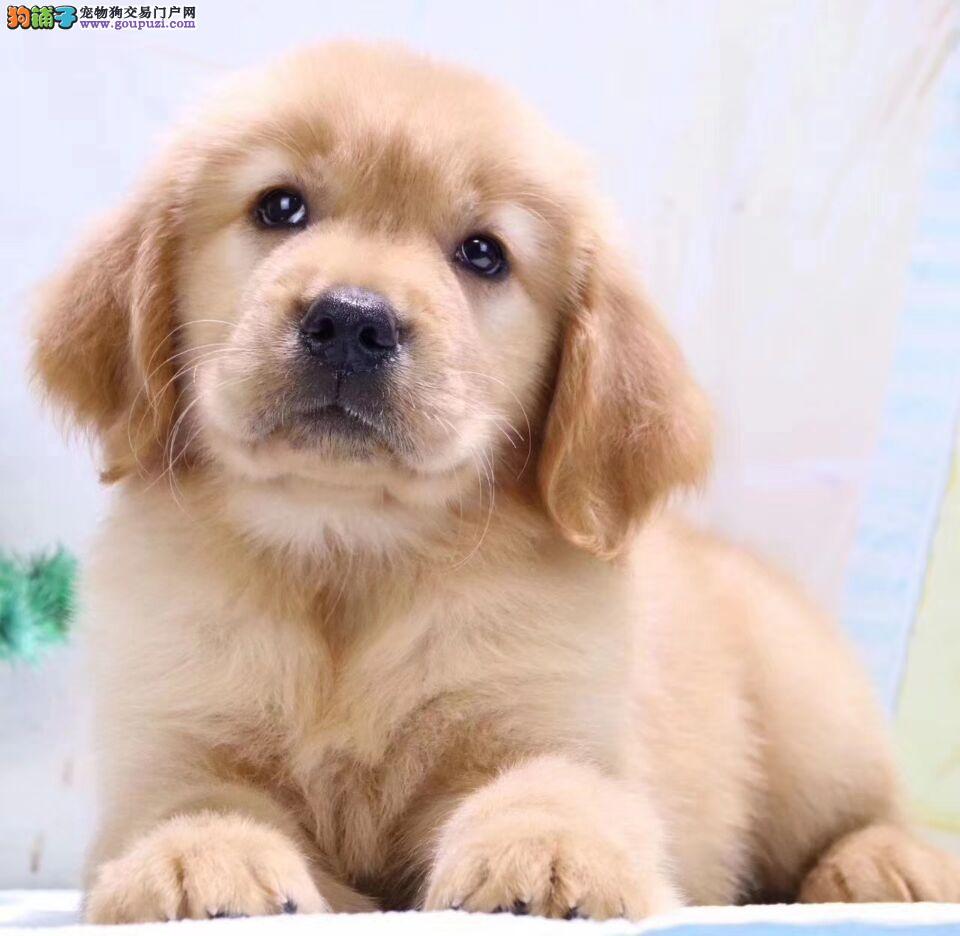 出售纯种金毛寻回犬幼犬 宠物犬 金毛犬狗狗