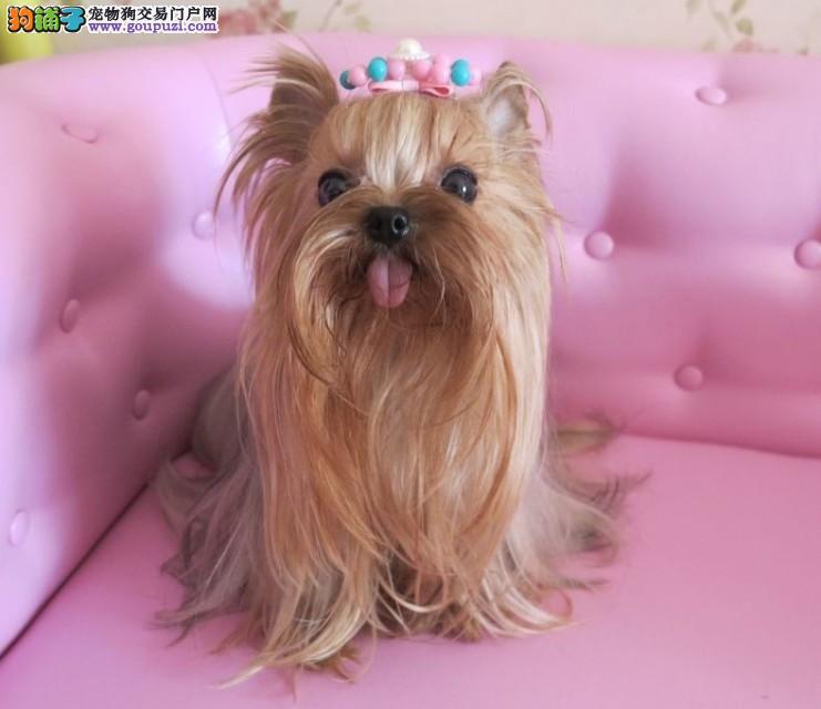 纯种健康金头银背约克夏幼犬超小体茶杯犬小型犬