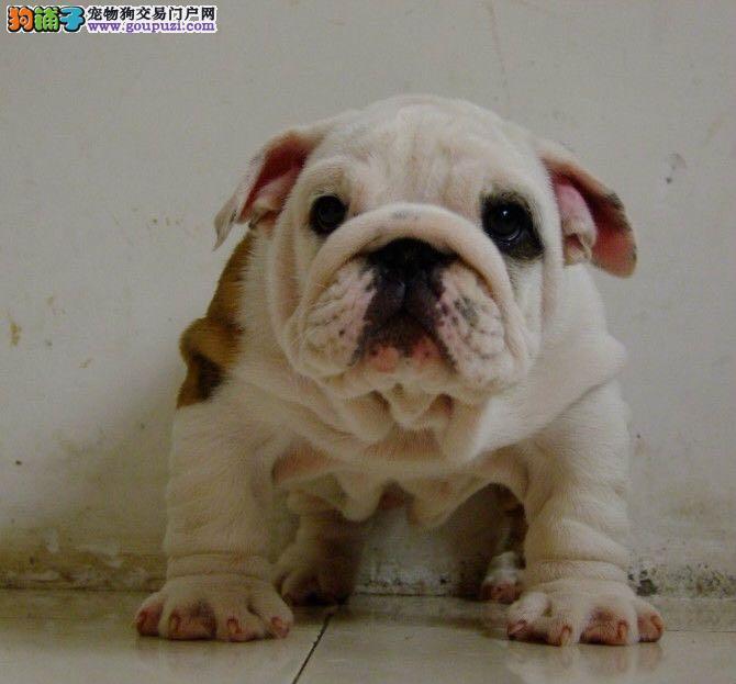 犬舍出售纯种健康英国斗牛犬 幼犬可视频包邮