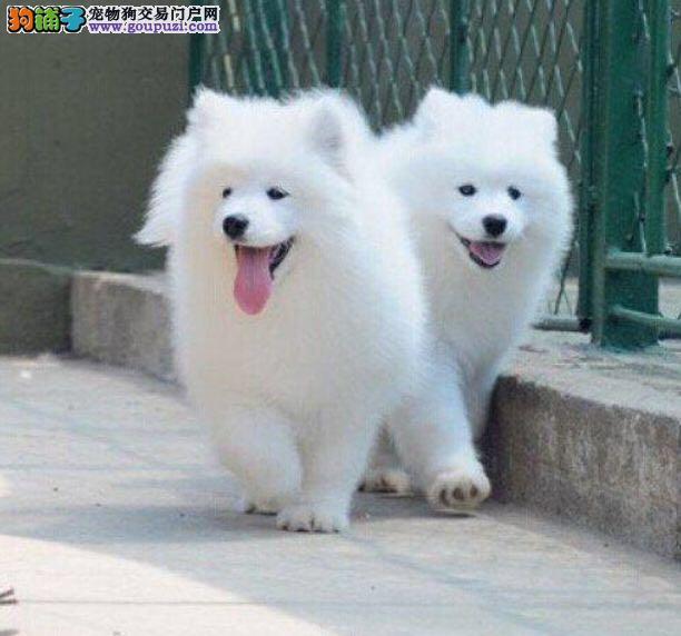 微笑天使萨摩耶 性格温顺 自家狗狗繁殖 包纯种健康