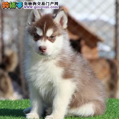 三火蓝眼哈士奇雪橇犬,灰白黑白多只可挑选