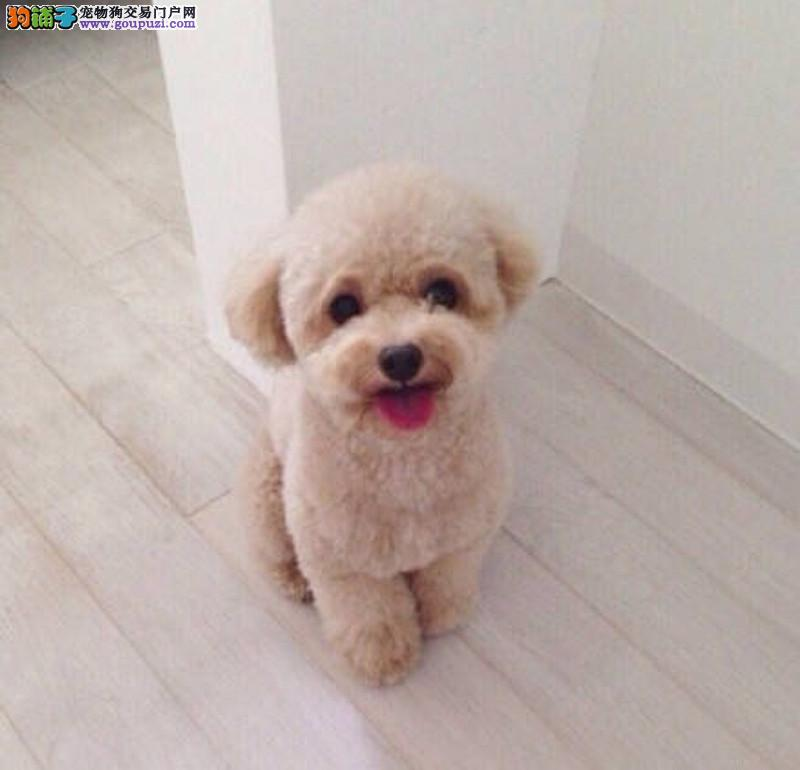 精品泰迪熊 卷毛小型犬泰迪颜色多种