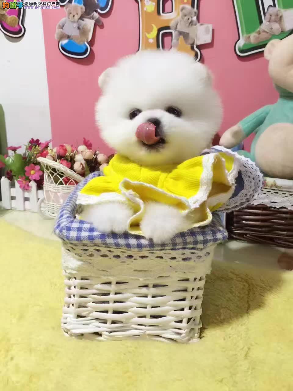 博美 实体店出售精品博美幼犬