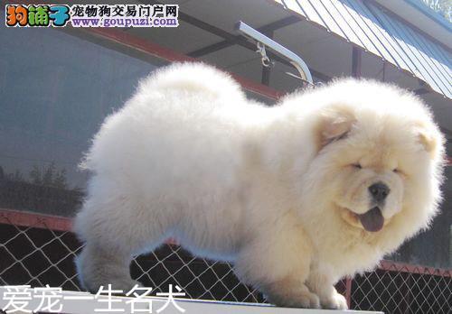 松狮犬 松狮幼犬 活体 纯种面包嘴松狮犬