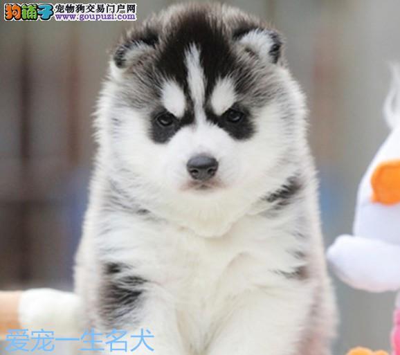 哈士奇幼犬活体狗狗 纯种哈士奇蓝眼三把火哈士奇狗