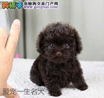 泰迪幼犬 纯种 茶杯犬 茶杯泰迪 泰迪 泰迪狗宠物狗